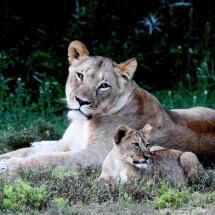 Amakhala lions