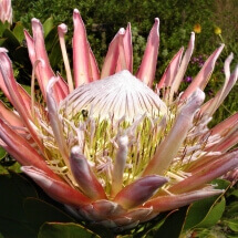 Proteas in flower