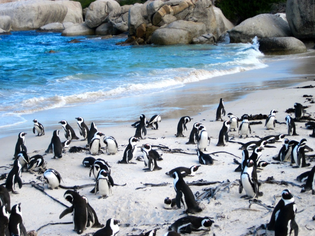 A colony of African penguins in South Africa