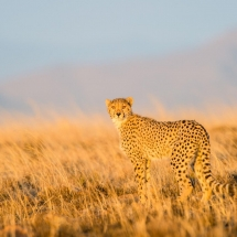 Cheetah Tracking