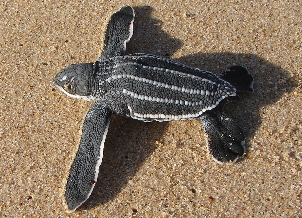 A leatherback hatchling making its way to the sea