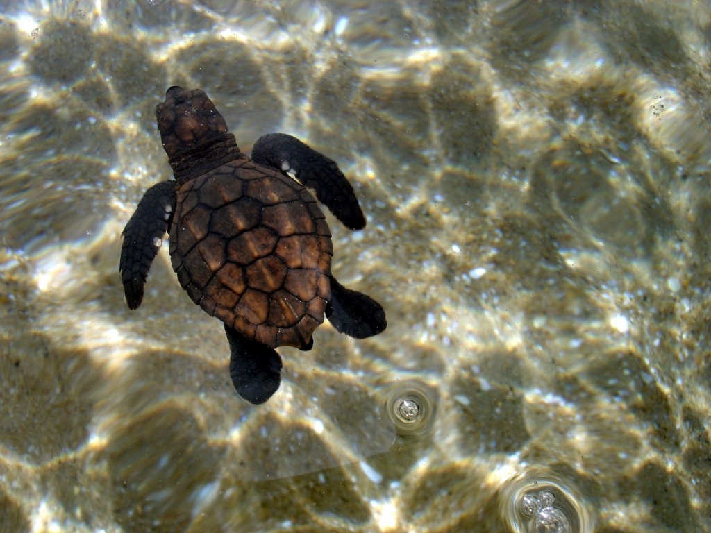 A swimming loggerhead hatchling