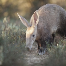 Aardvark Orycteropus afer, photographed in broad day lightin the Karoo South Africa
