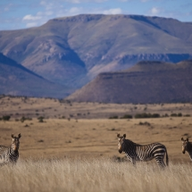 Cape Mt Zebra