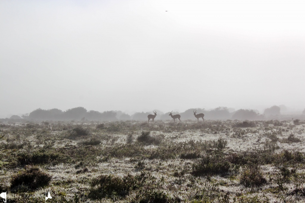 Impalas in the mist