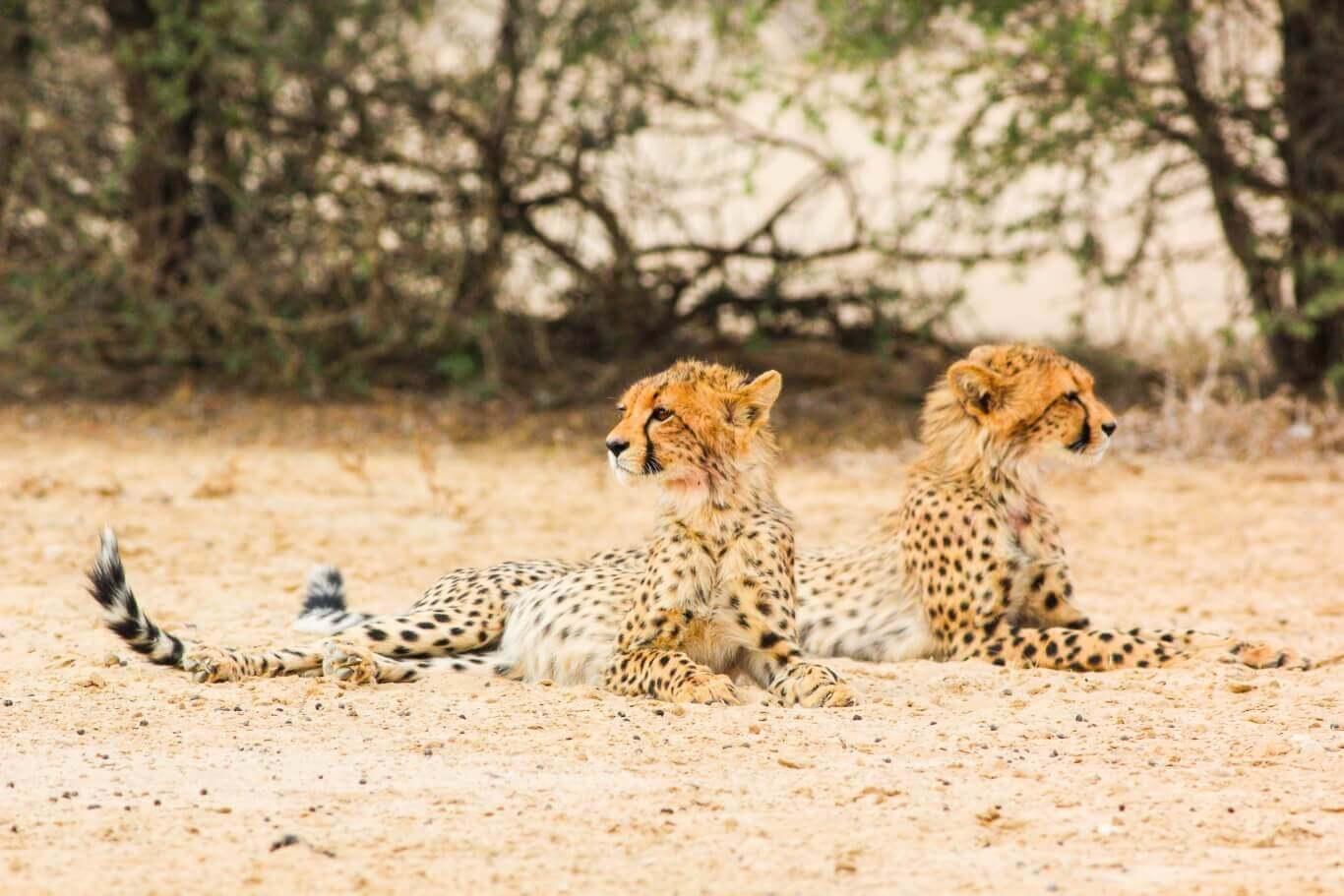 Cheetah tracking in the Karoo