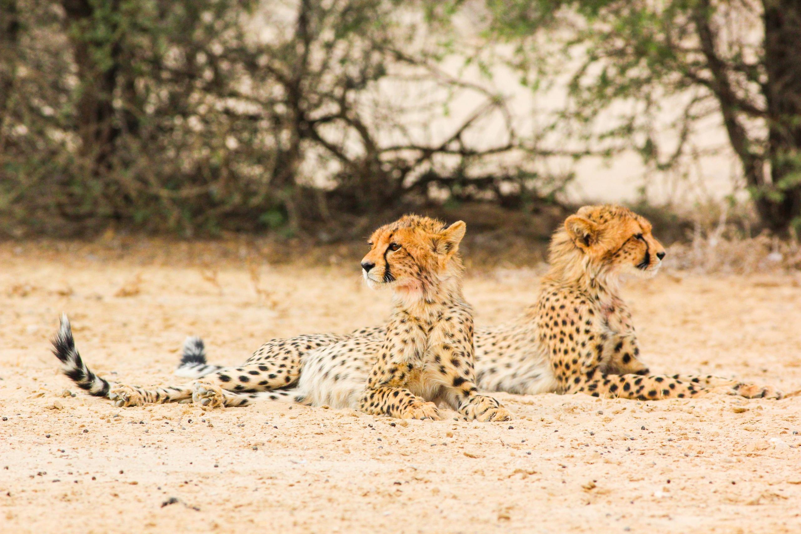Cheetah tracking the the Karoo
